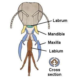Mouthparts | ENT 425 – General Entomology