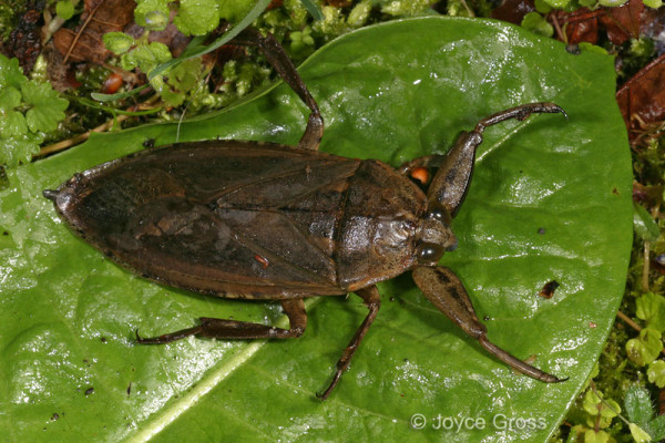 Heteroptera_Belostomatidae_Giant Water Bug