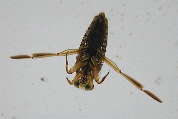 Hemiptera_Notonectidae_backswimmer