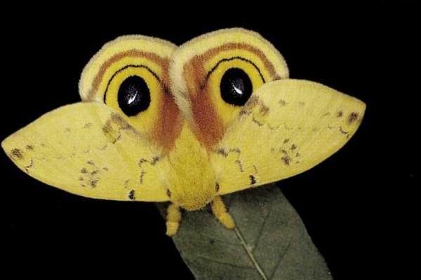 Lepidoptera_Saturniidae_Io Moth
