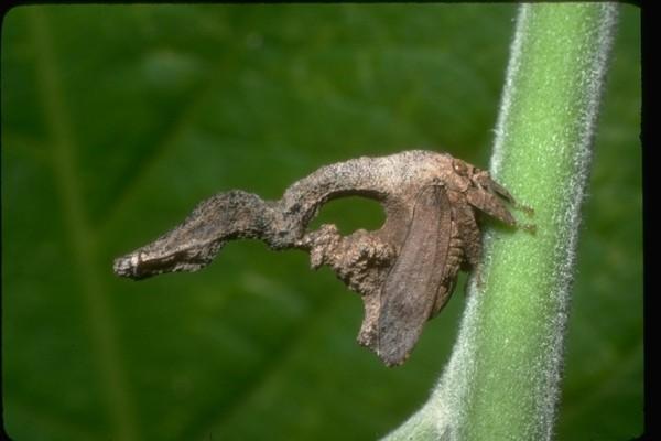 Hemiptera_Membracidae_Treehopper