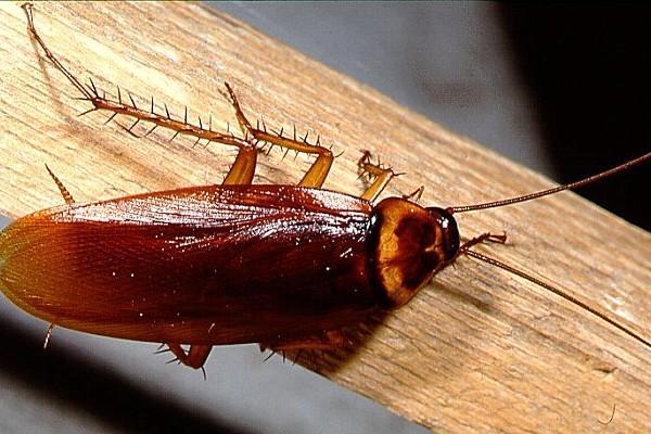 Blattodea_Blattidae_Cockroach