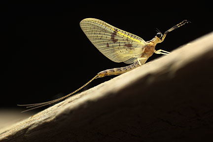 Ephemeroptera_Ephemeridae_Mayfly - Yellow Drake Adult