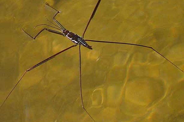 Hemiptera_Gerridae_Water strider