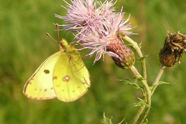 Lepidoptera_Pieridae_Pale clouded yellow butterfly
