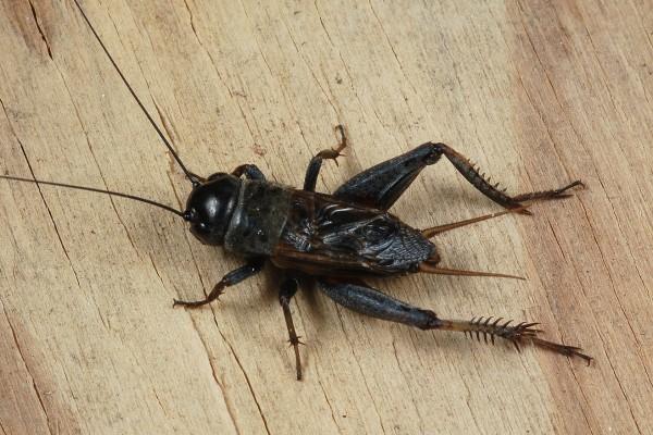 Orthoptera_Gryllidae_House cricket