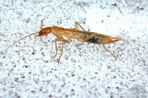 Grylloblattodea_Grylloblattidae_Rock crawler