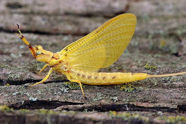 Ephemeroptera_Ephemeridae_Yellow Drake Mayfly