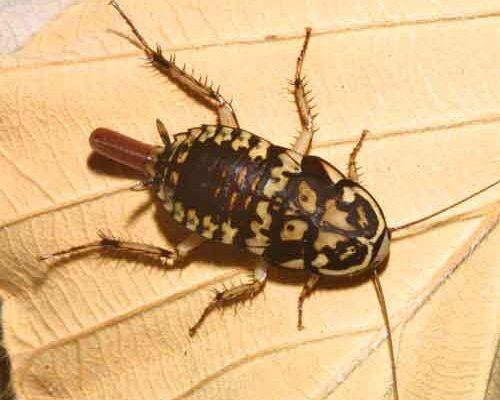 Blattodea__Cockroach
