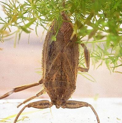 Hemiptera_Belostomatidae_Giant water bug