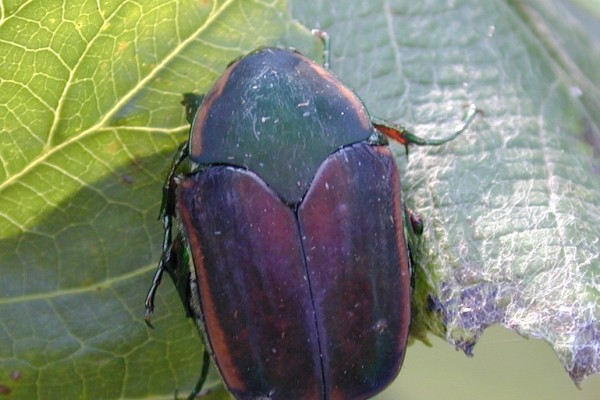 Coleoptera_Scarabaeidae_Green June beetle
