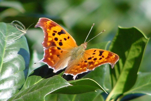 Lepidoptera_Nymphalidae_Question mark butterfly