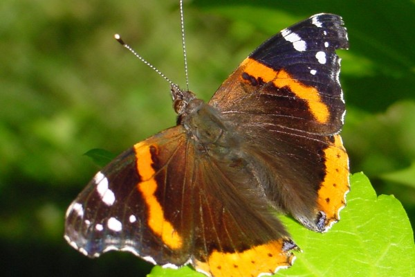 Lepidoptera_Nymphalidae_Red admiral butterfly