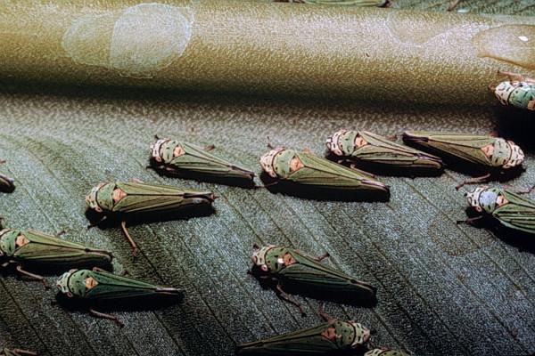 Hemiptera_Cicadellidae_Leafhoppers