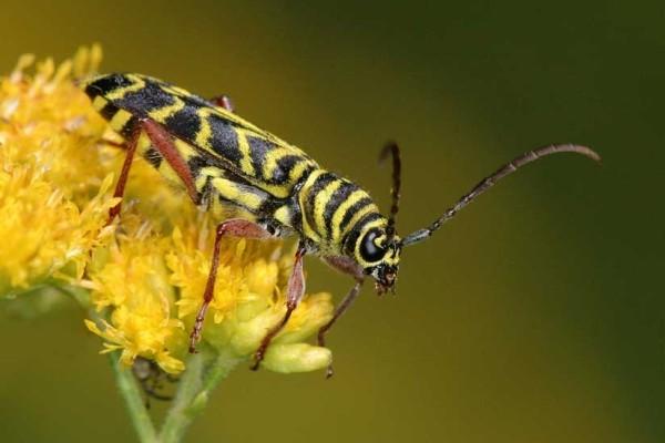 Coleoptera_Cerambycidae_Locust borer