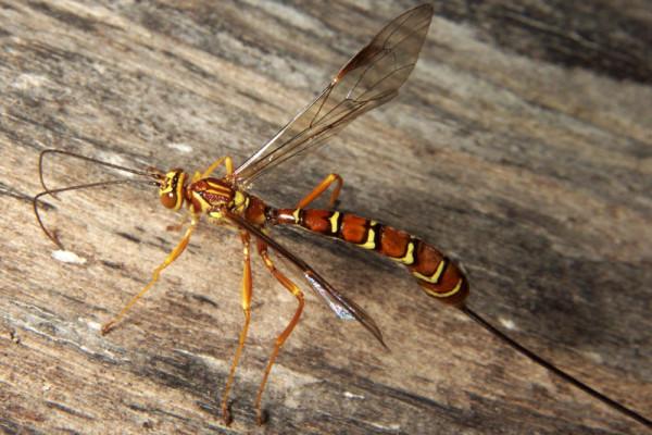 Hymenoptera_Ichneumonidae_Ichneumon Wasp female