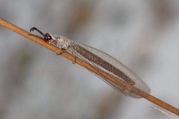 Neuroptera_Myrmeleontidae_Antlion