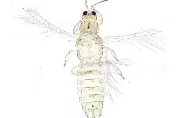 Thysanoptera_Thripidae_Onion thrips