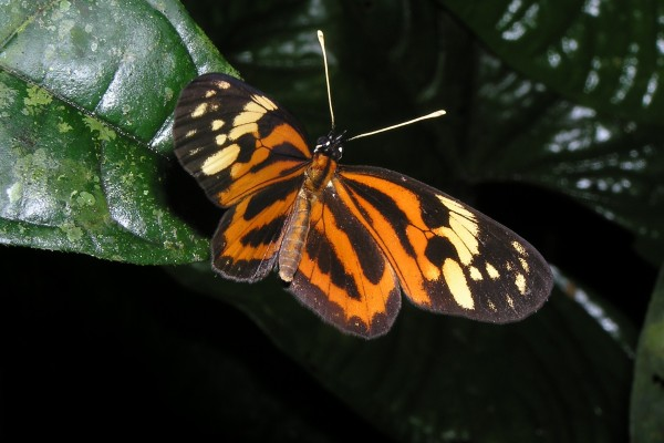 Lepidoptera_Nymphalidae_Helioconid butterfly