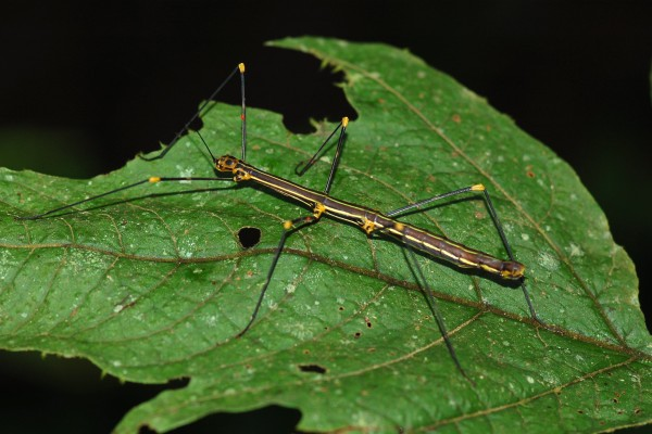 Phasmatodea__Walkingstick