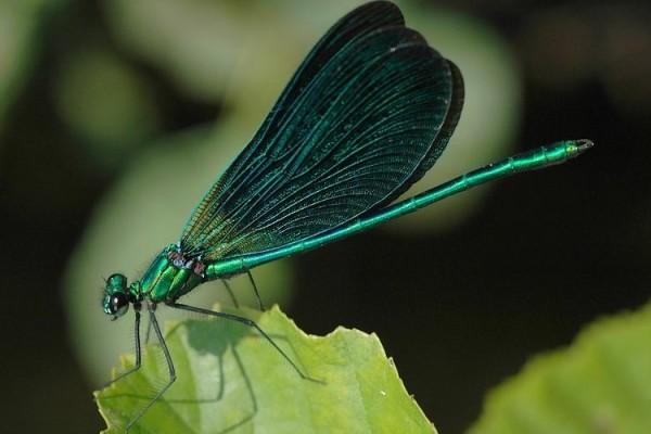 Odonata_Calopterygidae_Broadwing damselfly