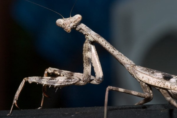 Mantodea_Mantidae_Praying mantis