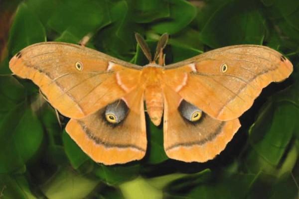 Lepidoptera_Saturniidae_Polyphemus moth