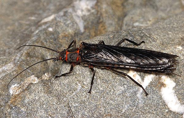 Plecoptera_Pteronarcyidae_Giant Stoneflies