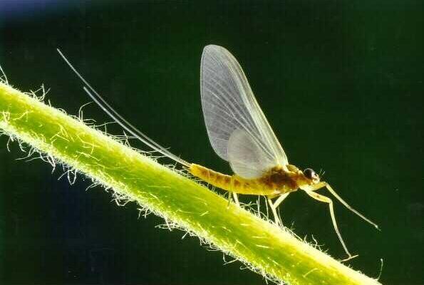 Ephemeroptera_Heptageniidae_Stream mayfly