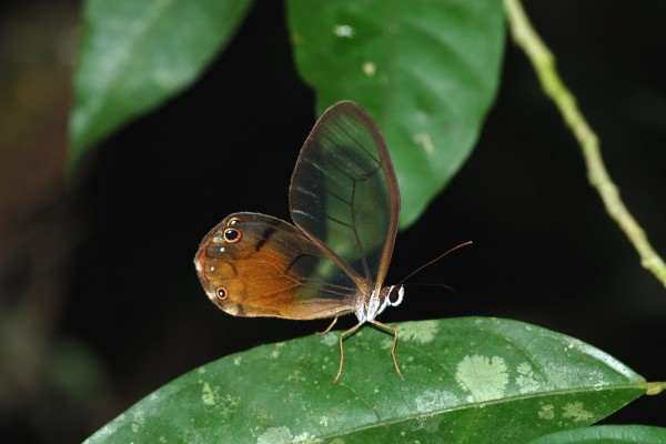 Lepidoptera_Nymphalidae_Brush footed butterfly