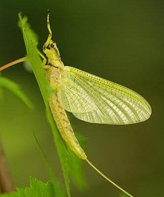 Ephemeroptera__Mayfly