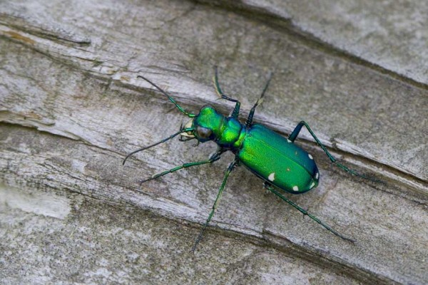 Coleoptera_Carabidae_Six-spotted tiger beetle