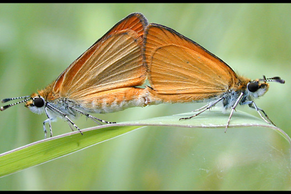 Mating pair