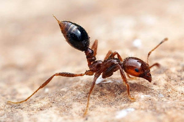 Hymenoptera_Formicidae_Fire ant