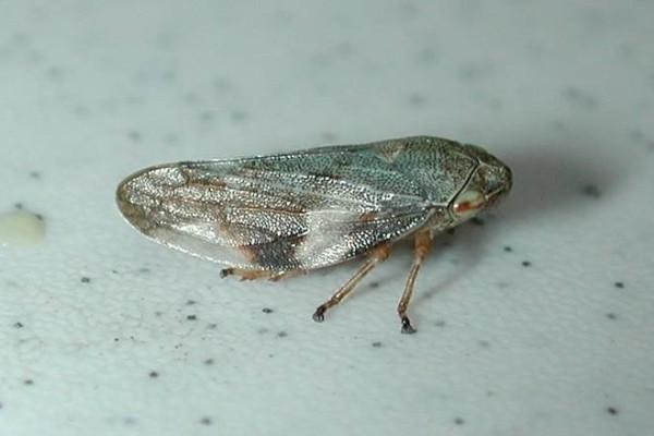 Hemiptera_Cercopidae_Spittlebug