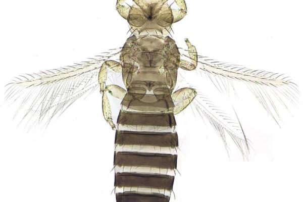 Thysanoptera_Thripidae_Tobacco thrips