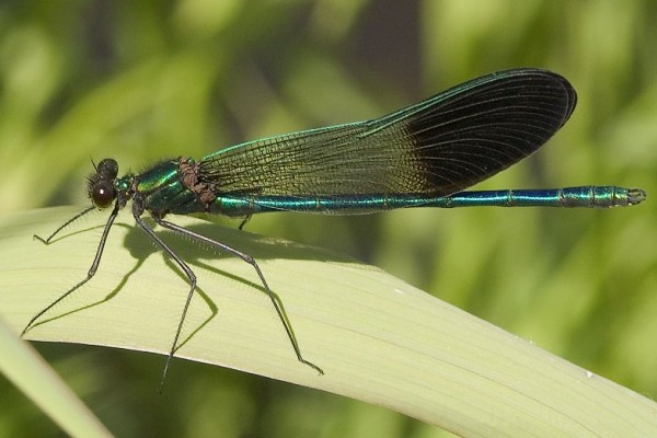Odonata_Calopterygidae_River Jewelwing damselfly
