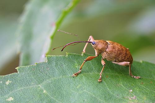 Coleoptera_Curculionidae_Pecan weevil
