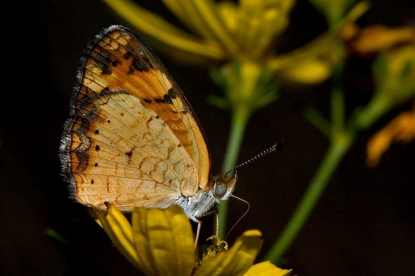 Lepidoptera_Nymphalidae_Butterfly