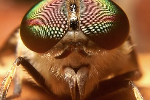 Diptera_Tabanidae_Horse fly face