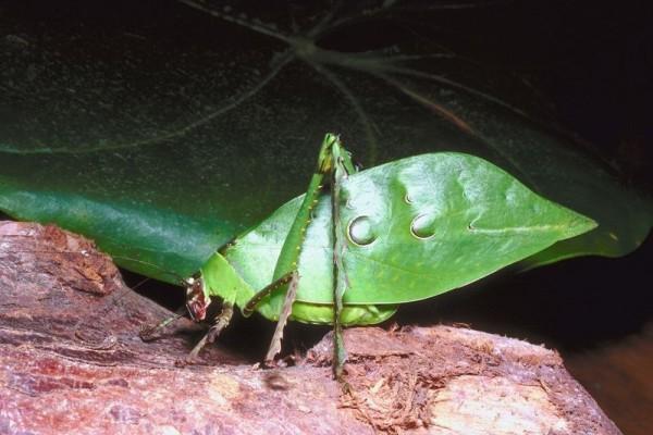 Orthoptera_Tettigoniidae_Katydid
