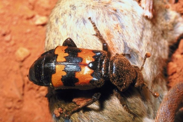Coleoptera_Silphidae_Carrion beetle