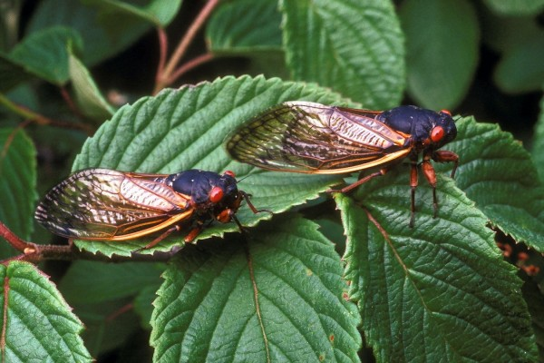 Homoptera_Cicadidae_Periodical cicada