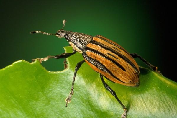 Coleoptera_Curculionidae_Citrus root weevil