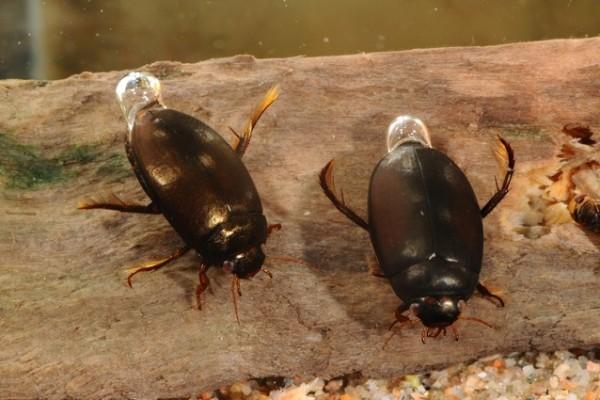 Coleoptera_Dytiscidae_Diving beetle