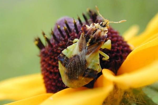 Hemiptera_Reduviidae_Ambush bug