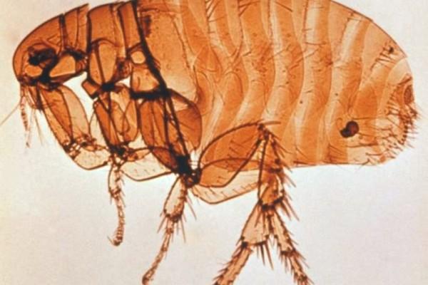 Siphonaptera_Pulicidae_Human flea