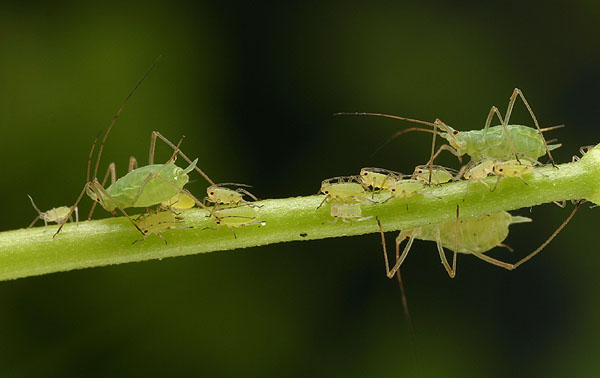 Hemiptera_Aphidoidea_Aphid juveniles and adults