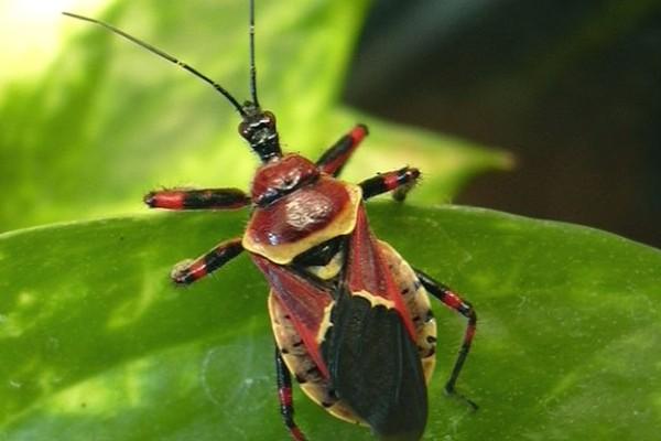 Hemiptera_Reduviidae_Bee Assassin