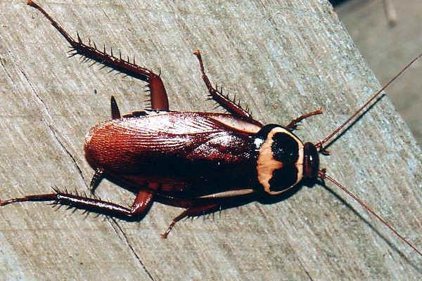 Blattodea_Blattidae_Australian Cockroach